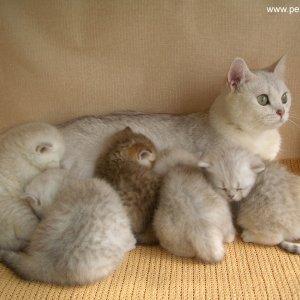 К чему снится как кошка рожает
