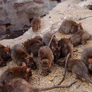 Сонник про крыс: видеть во сне много крыс и крысят