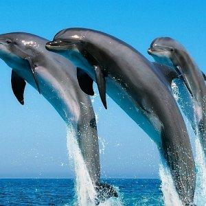 К чему снятся дельфины женщине в море, в воде, в бассейне – сонник