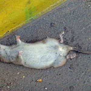К чему снятся мертвые крысы женщине сонник