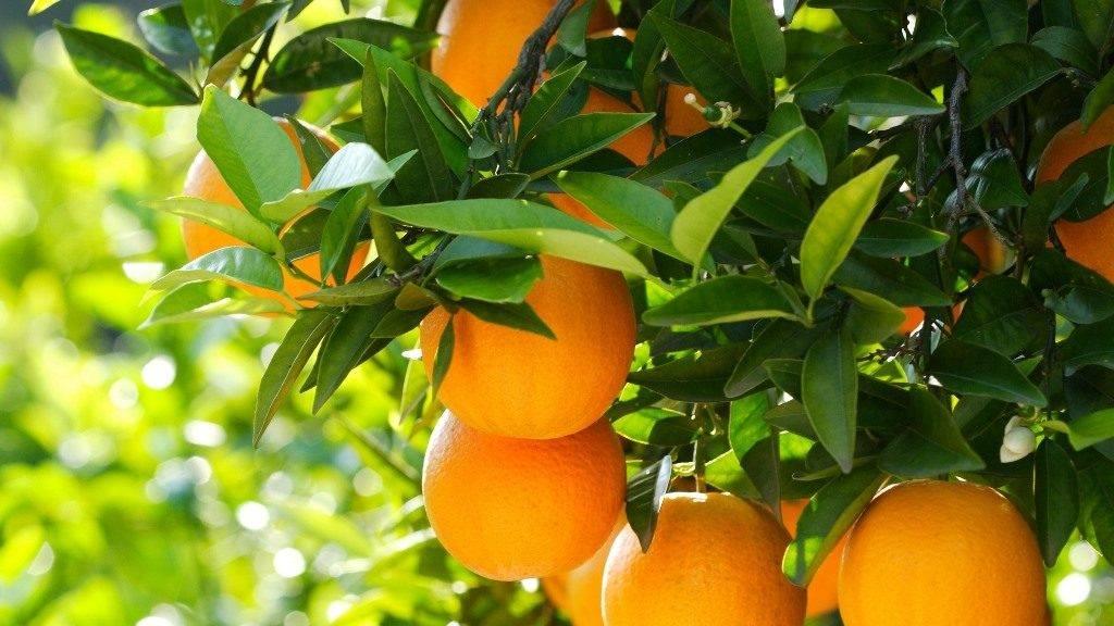 К чему снятся апельсины или апельсиновое дерево