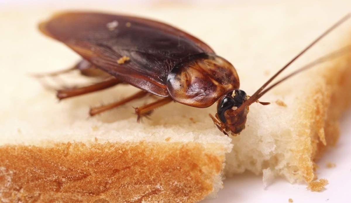 К чему снятся тараканы: толкование сновидения