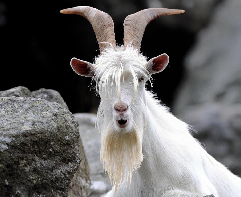 Появление козла во сне – к худу или к добру?