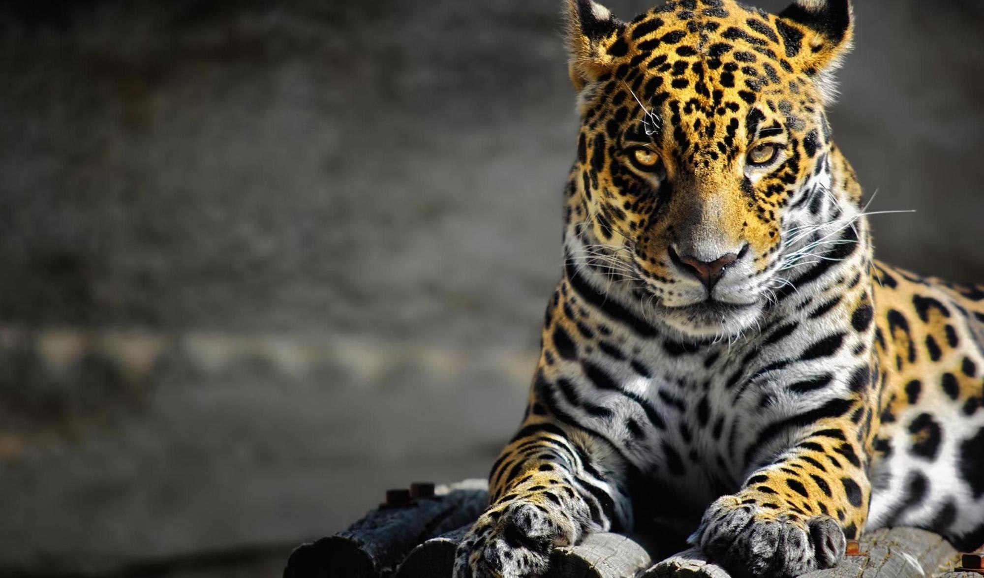 К чему снится леопард: толкование сновидения